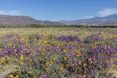 Abandonnez le tournesol de Cinq-tache et de désert fleurissant en Californie D Photos stock