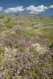 Abandonnez les lis et les fleurs blanches fleurissant avec les nuages gonflés blancs en parc d'état de désert d'Anza-Borrego, prè Image libre de droits