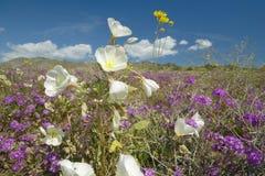 Abandonnez les lis et les fleurs blanches fleurissant avec les nuages gonflés blancs en parc d'état de désert d'Anza-Borrego, prè Photo stock