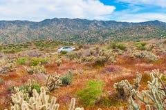 Abandonnez les wildflowers et le cactus en fleur dans le désert d'Anza Borrego C Photos stock
