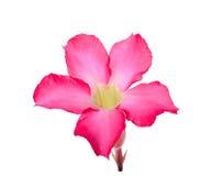 Abandonnez ROS, lis d'impala, fausse fleur d'azalée d'isolement sur le blanc Images libres de droits
