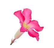 Abandonnez ROS, lis d'impala, fausse fleur d'azalée d'isolement sur le blanc Photos libres de droits