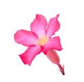 Abandonnez ROS, lis d'impala, fausse fleur d'azalée d'isolement sur le blanc Photo libre de droits