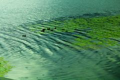 Abant Lake. In turkey with ducks and some green plants living in water stock photography