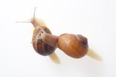 Abarcamiento de dos caracoles Imágenes de archivo libres de regalías