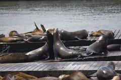 Abarcamiento de dos leones marinos Fotografía de archivo