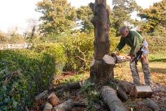 Abatendo a árvore de castanha foto de stock royalty free
