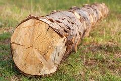 Abatido recentemente da árvore de abeto Fotografia de Stock