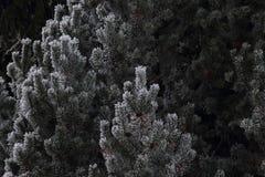 Abatract Jedlinowy drzewo zakrywający w lodzie Zdjęcia Royalty Free