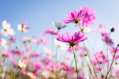 Abatract Las flores dulces del cosmos del color en bokeh texturizan la falta de definición suave f Imagen de archivo