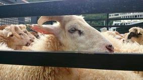 Abattage d'agneau Image stock