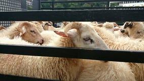 Abattage d'agneau Photo libre de droits