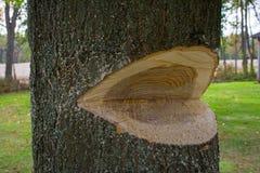 Abattage d'un arbre Photo stock