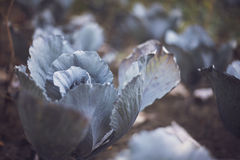 Сabbage Royalty Free Stock Photography