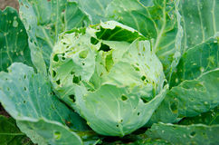 Сabbage Stock Photos