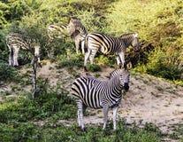 Abbagli della zebra di Burchell fotografie stock libere da diritti