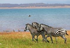 Abbagli delle zebre che camminano attraverso le pianure fertili accanto al lago Kariba Fotografia Stock Libera da Diritti