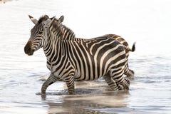 Abbagli delle zebre nell'acqua Fotografie Stock