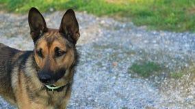 Abbagliamento canino Fotografia Stock Libera da Diritti