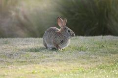 Abbandoni il audubonii dello Sylvilagus del coniglio di silvilago nel prato Immagini Stock
