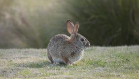 Abbandoni il audubonii dello Sylvilagus del coniglio di silvilago nel prato Fotografia Stock
