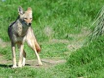 Abbandoni il coyote 5 Immagine Stock