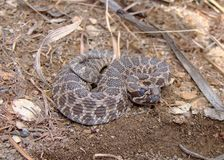 Abbandoni il rattlesnake (occidentale) di Massasauga Fotografia Stock