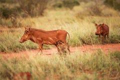 Abbandoni il rosso di aethiopicus del Phacochoerus di facocero da fango e da littl fotografia stock