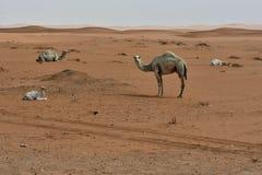 Abbandoni la sabbia ed i cammelli liberi, nel cuore dell'Arabia Saudita sul modo a Riyad Fotografia Stock