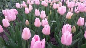 Abbastanza colore rosa Immagini Stock