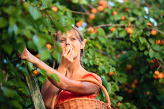 Abbastanza, le albicocche di raccolto della giovane donna si sono accese entro la sera calda dell'estate fotografia stock libera da diritti