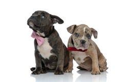 Abbattimento colpevole dei cuccioli di Amstaff cattivo e guardare intorno fotografie stock libere da diritti