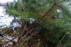Abbattimento illegale degli abeti Divieto di disboscamento alberi di Natale tagliati fotografie stock libere da diritti