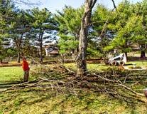 Abbau des großen Ahornbaums Stockfotos