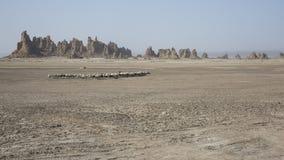 Abbe de la laca de la travesía de las ovejas Foto de archivo libre de regalías