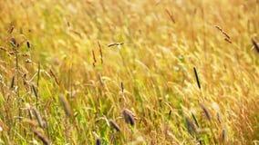 Abbellisca in alte montagne - erba asciutta che ondeggia sul vento stock footage