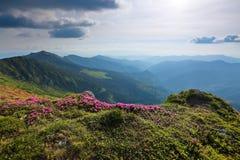 Abbellisca con bello rododendro nell'erba verde I raggi del sole colpiscono il throuh le nuvole Alte montagne in opacità Immagini Stock