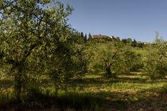 Abbellisca con di olivo, Toscana, Italia Immagini Stock