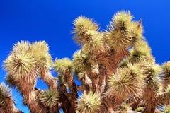 Abbellisca con gli alberi di Joshua, Joshua Tree National Park, U.S.A. Immagini Stock