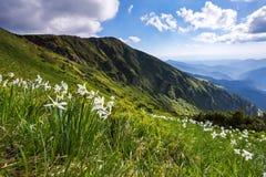 Abbellisca con i bei narcisi nell'erba verde I raggi del sole colpiscono attraverso le nuvole bianche Alte montagne Fotografie Stock
