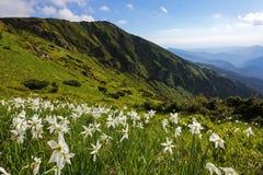 Abbellisca con i bei narcisi nell'erba verde I raggi del sole colpiscono attraverso le nuvole bianche Alte montagne Fotografia Stock Libera da Diritti
