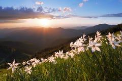 Abbellisca con i bei narcisi nell'erba verde I raggi del sole colpiscono attraverso le nuvole bianche Alte montagne in opacità Fotografia Stock
