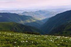 Abbellisca con i bei narcisi nell'erba verde I raggi del sole colpiscono attraverso le nuvole bianche Alte montagne in opacità Fotografia Stock Libera da Diritti