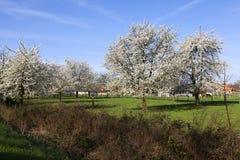 Abbellisca con i ciliegi in fiore, Haspengouw, Belgio Fotografia Stock