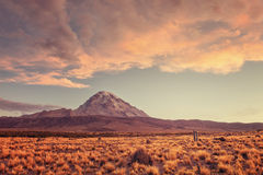 Abbellisca con il vulcano di sajama nei precedenti, il parco nazionale Bolivia del plateau Fotografia Stock Libera da Diritti