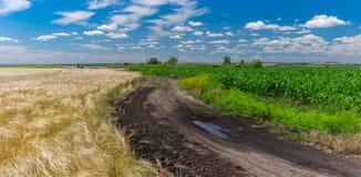 Abbellisca con la strada sporca fra i giacimenti agricoli del mais e del grano Immagini Stock