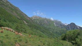 Abbellisca con le mucche nelle alpi francesi, d'Ornon del gruppo del passo con catena montuosa sui precedenti archivi video