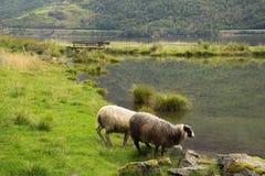 Abbellisca con le pecore in un prato vicino al lago, Flom, Norvegia Fotografia Stock Libera da Diritti