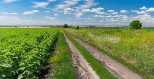 Abbellisca con una strada sterrata fra i giacimenti agricoli del mais e del girasole Fotografia Stock