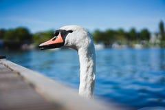 Abbellisca i cigni bianchi della tolleranza sul lago Alster vicino al pilastro un il giorno soleggiato Amburgo, Germania Immagini Stock